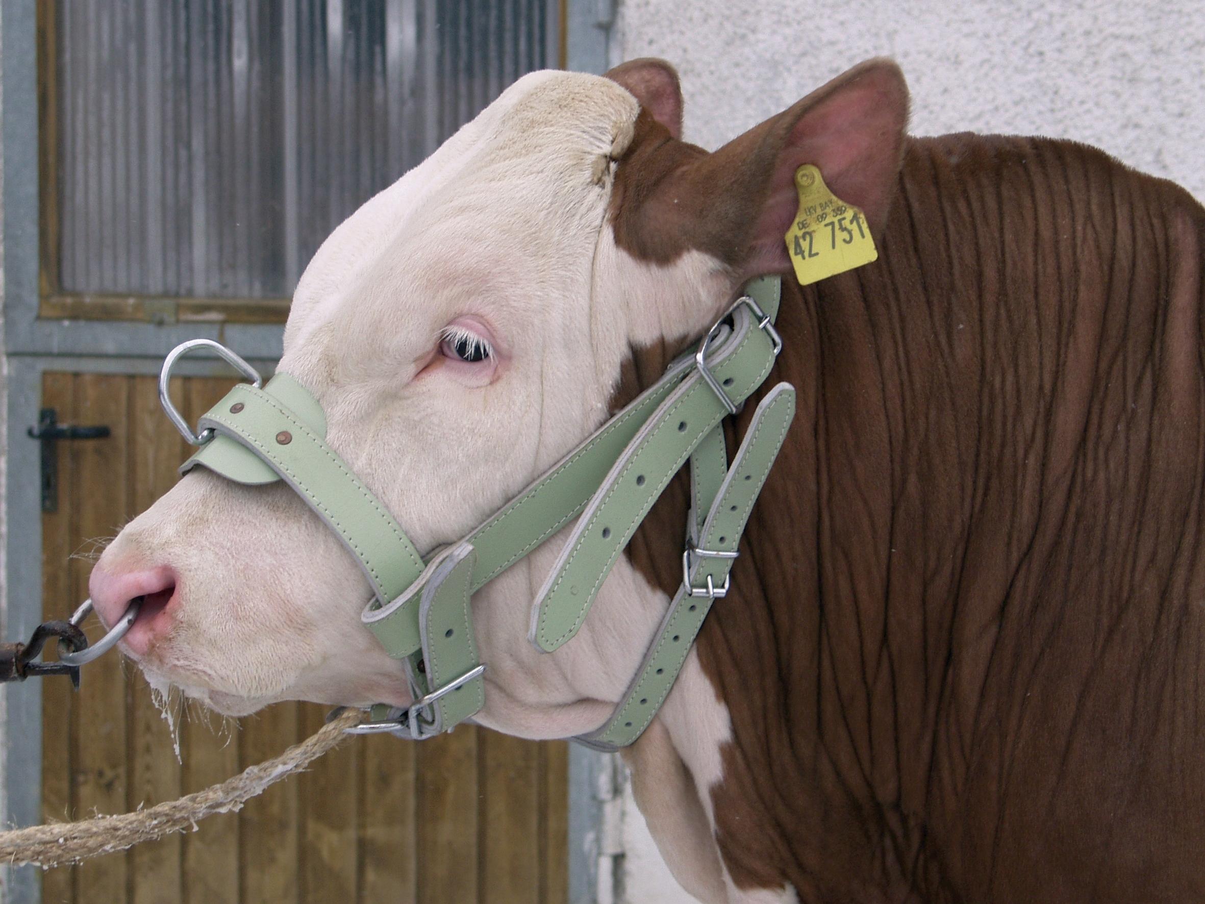Koehalster stiermodel leer dubbel